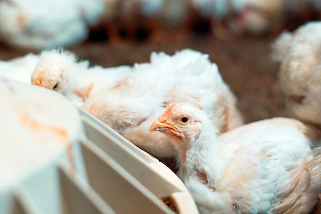 Pollo da carne bianco al pollaio.