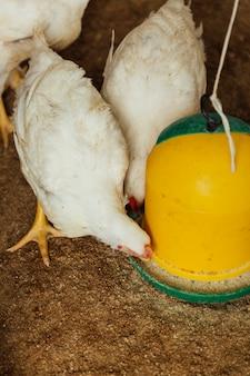 Pollo di colpo medio che mangia a penna