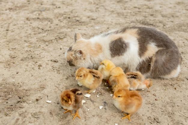 Pollo di pasqua che mangia con il gatto gentile. amici.
