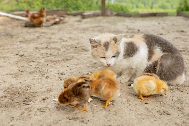 Pollo di pasqua che mangia con il gatto gentile. amici