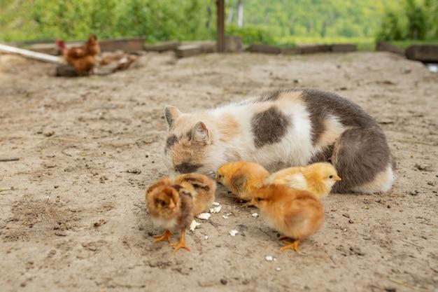 Pollo di pasqua che mangia con il gatto gentile.