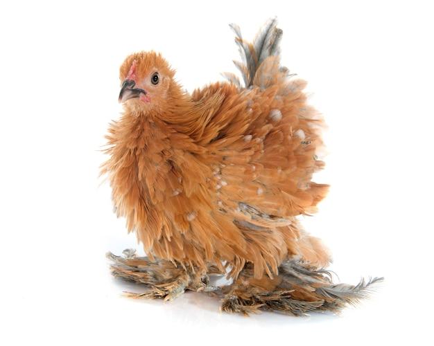Pollo di piume ricce pekin