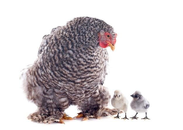 Pollo e pulcini di orpington