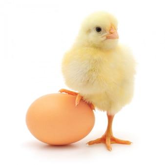 Pollo ed uovo isolati su fondo bianco