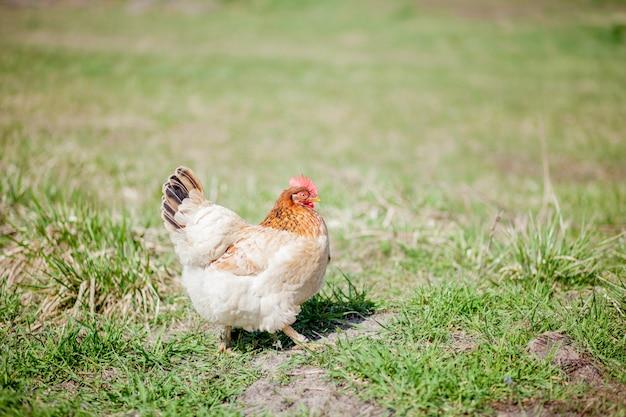 Pollo in erba in una fattoria. gallina di pollo arancione che è fuori per una passeggiata sull'erba