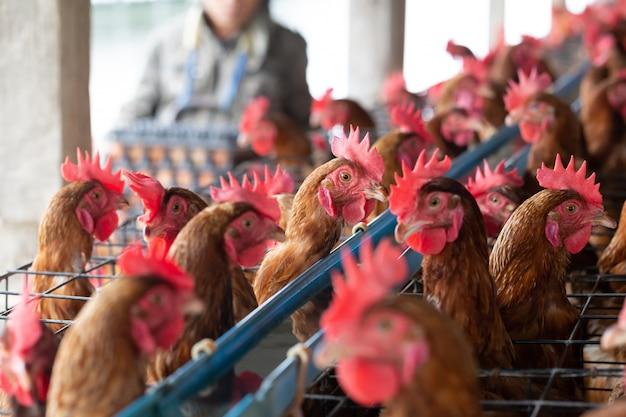 Pollo nella fabbrica, galline nell'azienda agricola industriale delle gabbie in tailandia, animale e commercio agricolo, produzione alimentare e concetto di industria