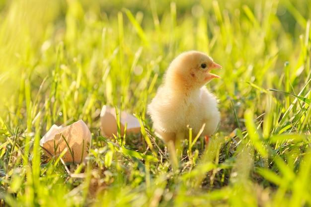 Pollo neonato con il guscio d'uovo, fondo dell'erba verde al sole