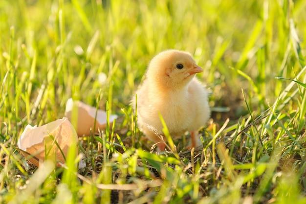 Pollo neonato con il guscio d'uovo, fondo dell'erba verde