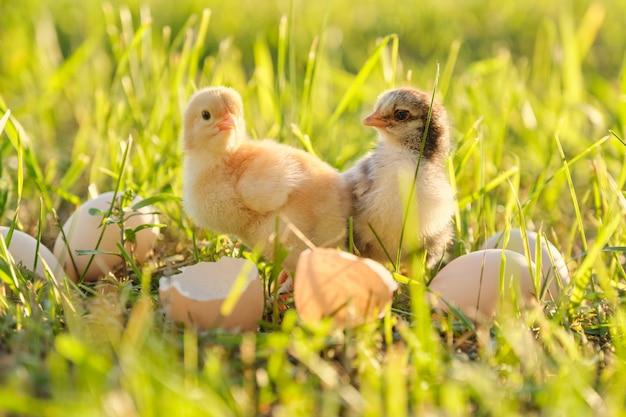Pollo neonato due con le uova incrinate del guscio d'uovo