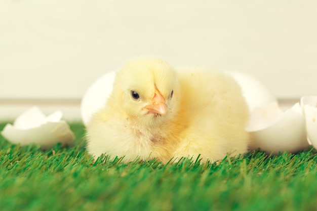 Pollo piccolo sull'erba
