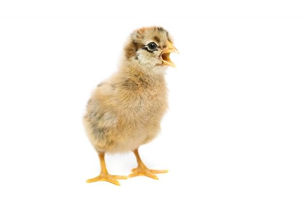 Pollo su sfondo bianco