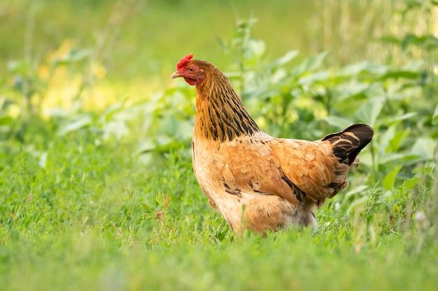 Pollo sull'erba
