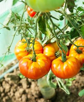 Pomodori biologici in una serra