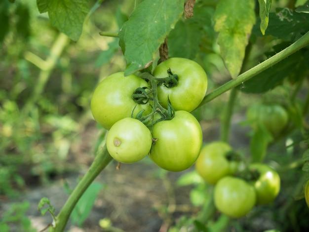 Pomodori che crescono sulla pianta