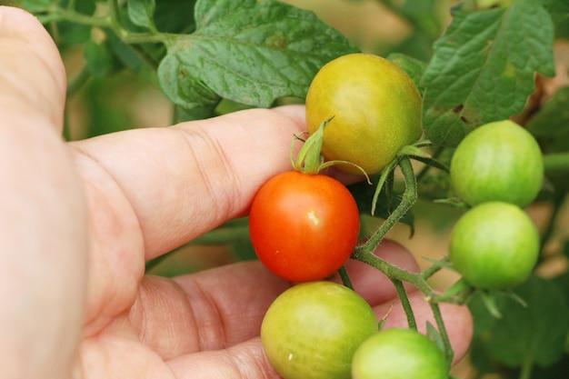 Pomodori freschi sull'albero in giardino
