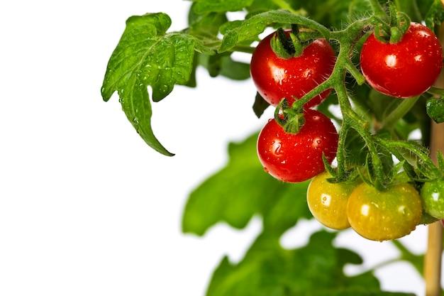Pomodori maturi da giardino