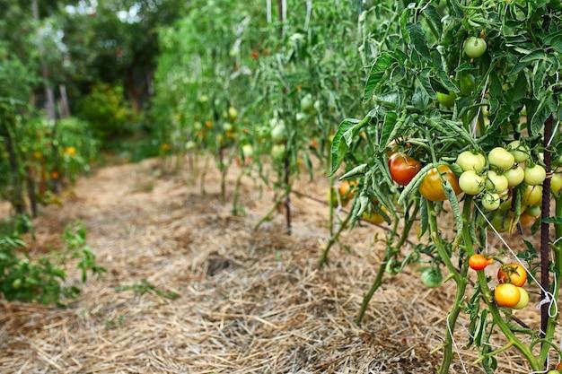 Pomodori maturi in giardino, verdura rossa fresca che appende sulla produzione di ortaggi biologici ramo, raccolto autunnale.
