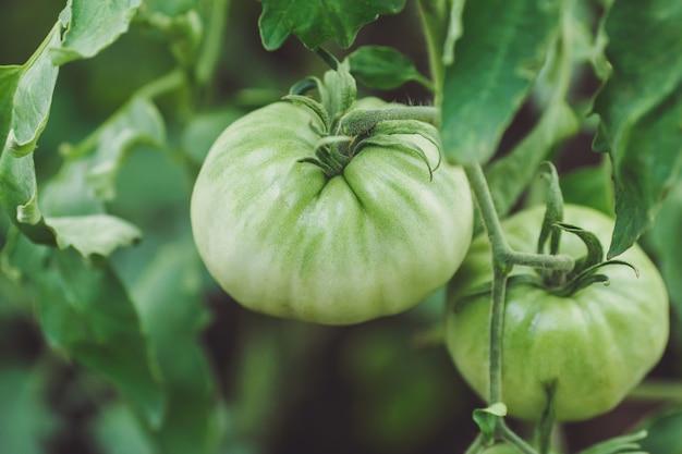 Pomodori non maturi verdi nell'orto