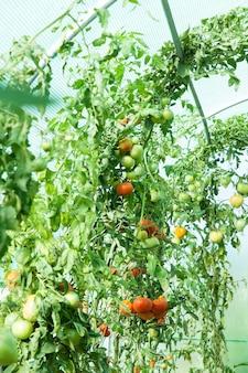 Pomodori organici in una serra