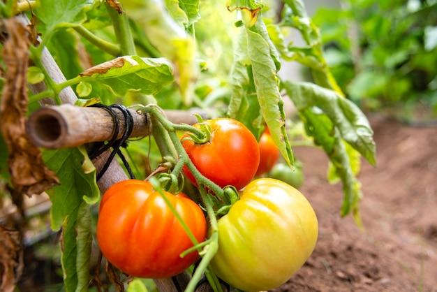 Pomodori rossi coltivati su rami maturi ricchi di vitamine per una dieta biologica sana che rispetta l'ambiente.
