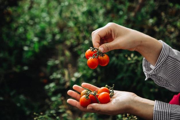 Pomodori rossi raccolti in mani di donna