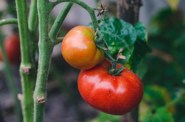 Pomodori succosi maturazione