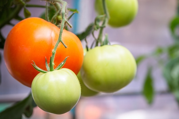 Pomodoro che cresce nell'azienda agricola biologica, pomodori naturali maturi che crescono su un ramo in serra