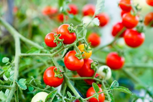 Pomodoro del ribes rosso nell'orto domestico.