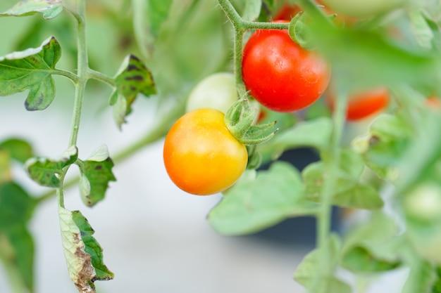 Pomodoro di ribes rosso e arancione nell'orto.