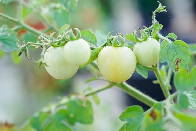 Pomodoro di ribes verde nell'orto.