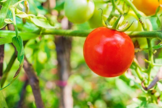 Pomodoro rosso maturo in orto biologico