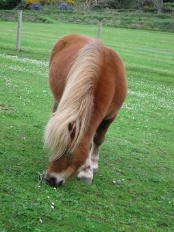 Pony al pascolo in un campo