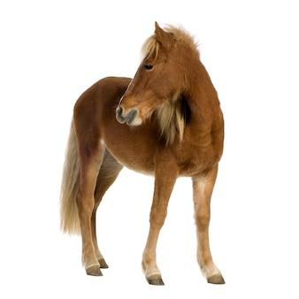 Pony shetland (2 anni) su bianco
