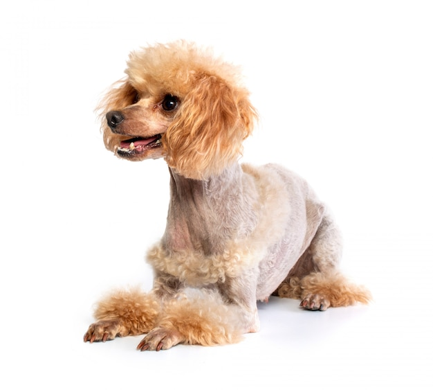 Poodle di toy groomed in posa
