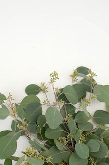 Populus di eucalyptus delle foglie verdi su fondo bianco