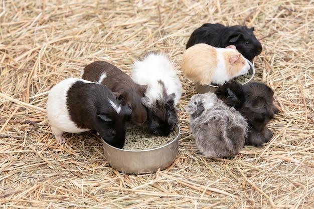 Porcellini d'india che mangiano da una ciotola