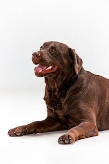 Posa di brown labrador retriever