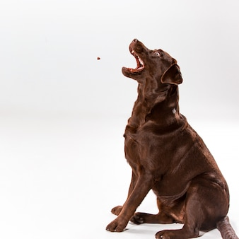 Posa di brown labrador retriever