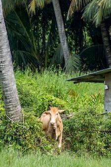 Posizione della mucca all'azienda agricola verde al lato dell'albero di cocco e della casa di legno