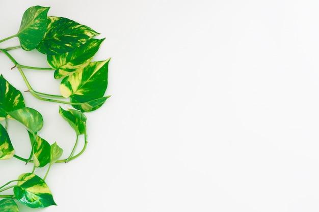 Pothos d'oro o edera del diavolo o epipremnum aureum, vite a forma di cuore foglie su backgroun bianco con lo spazio della copia per il vostro testo