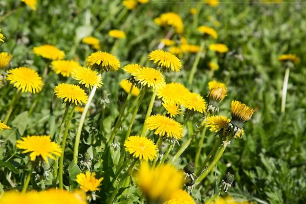 Prato con fiori gialli brillanti denti di leone