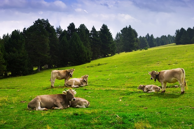 Prato con le mucche