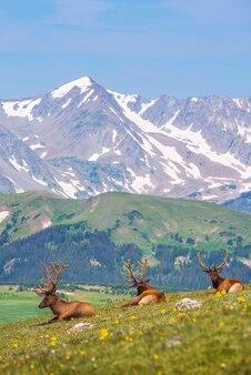 Prato di estate con gli elks