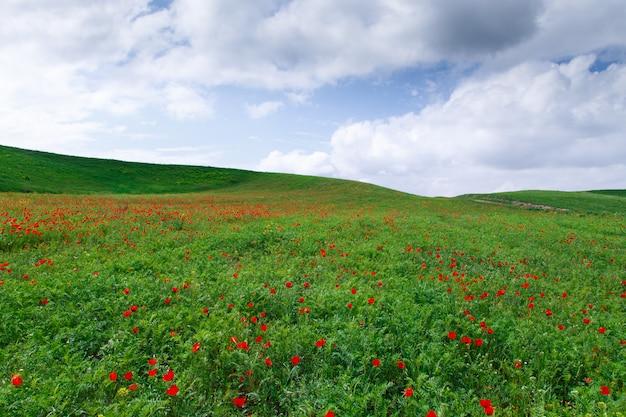 Prato fiorito di papaveri rossi. bellissimo paesaggio estivo con campo di papaveri in fiore. kirghizistan turismo e viaggi.
