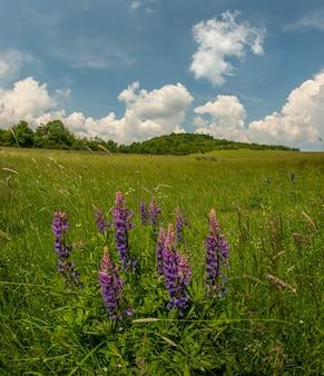 Prato vista terra e fiori di lupino viola selvatico