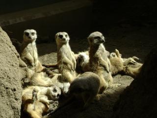 Prendere il sole suricati