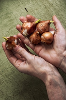 Preparato per piantare piante di bulbi primaverili