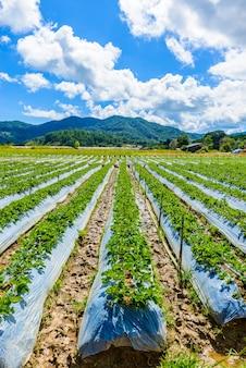Preparazione del terreno per la coltivazione di fragole, campo di fragole parzialmente a chiang mai, thailandia.
