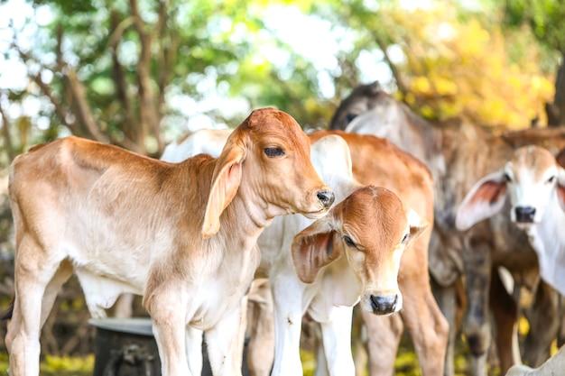 Pretty little baby cows o vitello su terreni agricoli