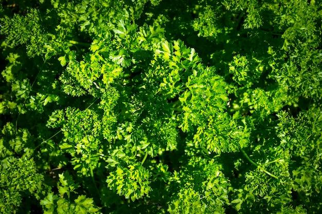 Prezzemolo verde fresco in un giardino dell'erba, fuoco selettivo.